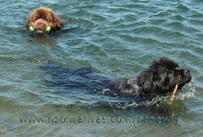 Newfoundland dog pictures Newfoundland Swimming