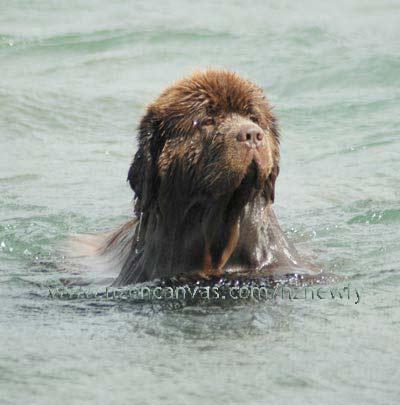 Newfoundland dog Newfoundland Swimming