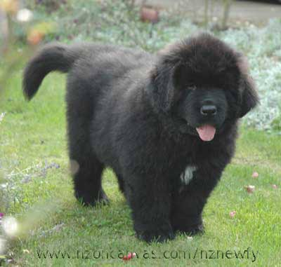 Newfoundland pup Henry at nearly nine weeks old