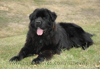 Newfoundland Henry at 13 months