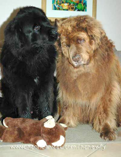Newfoundlands Henry & Wellington