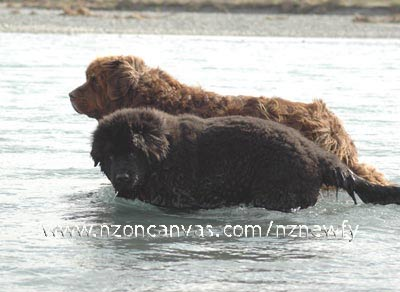 Newfoundland dog Wellington & pup Henry