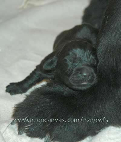Five day old Newfoundland pup