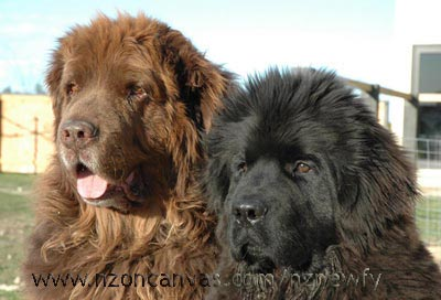 Newfoundlands Wellington & Henry
