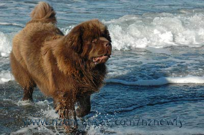 Newfoundland dog Enzo, almost two years of age
