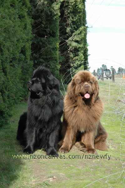 Newfoundlands Henry & Enzo examine effects of the 2010 Darfield earthquake