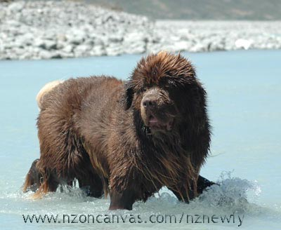 Newfoundland Enzo at 17 months of age.