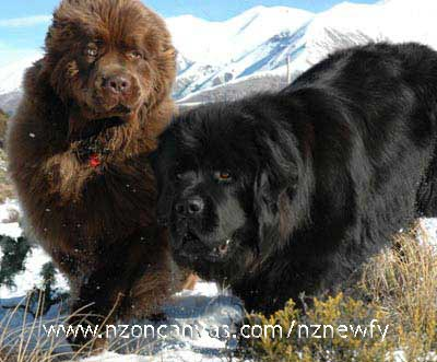 Newfoundlands Henry & Enzo playing in the snow