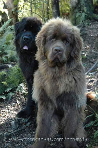 A black Newfy bear and a brown Newfy bear cub in the woods