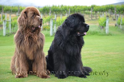 Newfoundlands Enzo & Henry at the beautiful Carrick winery