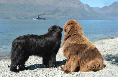 Newfies Enzo & Henry watch the Earnslaw go by