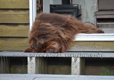 Newfoundland Enzo crashed out