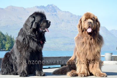 Newfoundlands Henry & Enzo with the Remarkables in the background